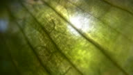 HD 1080i Vein Abstract with leaves 1