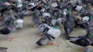 HD 1080:Pigeons