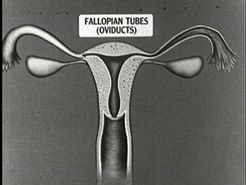 1920s B/W CU, Animated anatomical diagram of woman's reproductive system showing fallopian tubes