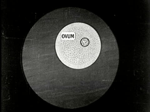 1920s B/W CU, Animated cartoon of sperm fertilizing egg and cell division
