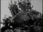 1940s WS Boulder becoming dislodged from rocky hill and tumbling down / United States