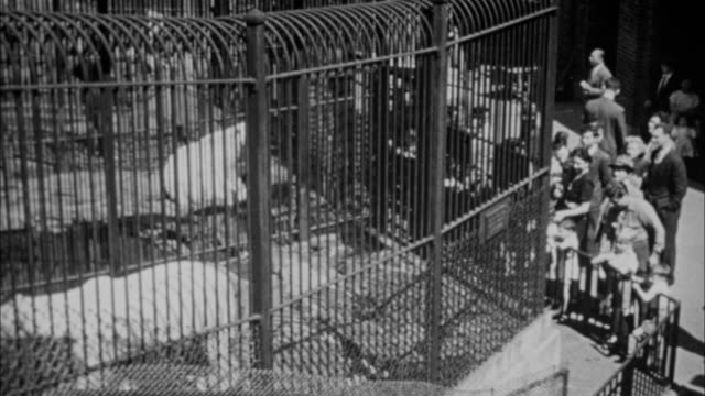 1940s B/W MONTAGE Polar bears in zoo / New York City, New York, USA