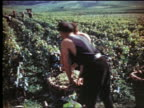 1940s/50s PAN two men lifting + carrying large basket of grapes in vineyard / (Epernay?) France