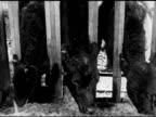 CATTLE FEEDING VS Cattle cows w/ head throw feeding guards eating hay Agriculture livestock bovine farm farmland country fodder forage 'cowfeteria'