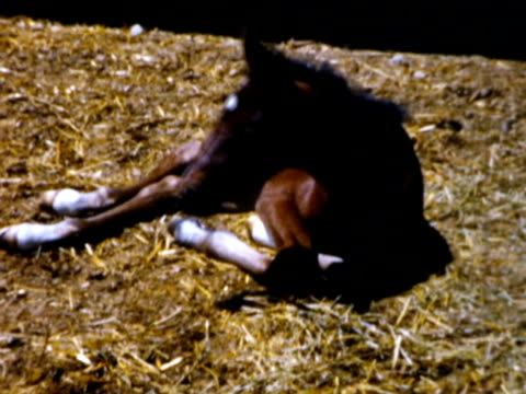 1960s MS TU Foal lying down in hay and standing up / Connecticut, USA