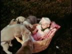 1960s wide shot litter of playful puppies surrounding baby in basket / licking baby's face / nipping sleeve