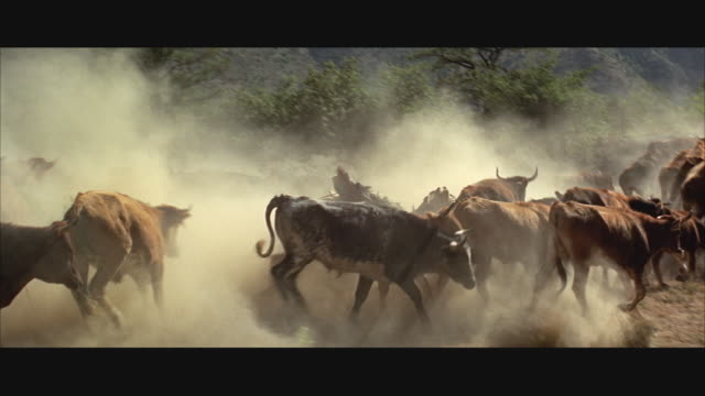1970s WS Cowboy herding cattle, falling off horse, clouds of dust