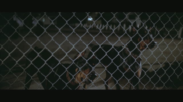 1970s MS Two Dobermans behind fence, barking