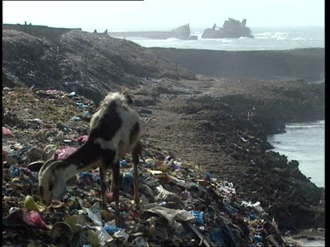 1Oct1998 WS Goat picking through trash on shore waves crashing in over shipwreck in background / Mogadishu Benadir Somalia