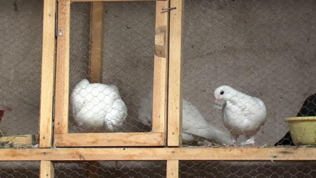 20th Jul 2009 MS Pigeons in cage at Souk Al Safaseer market stall / Baghdad Iraq