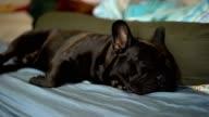4k Close up black french bulldog sleeping on bed.