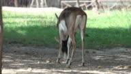 4k: deer wildlife in zoo safari