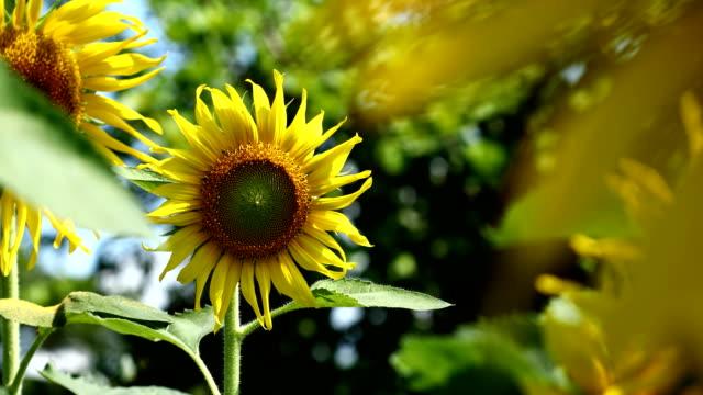4k, Sunflower field