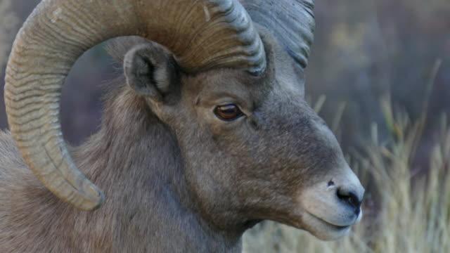 4k video bighorn sheep ram fall rut Waterton Canyon Colorado