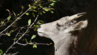 4k video wild bighorn sheep feed in Waterton Canyon Colorado