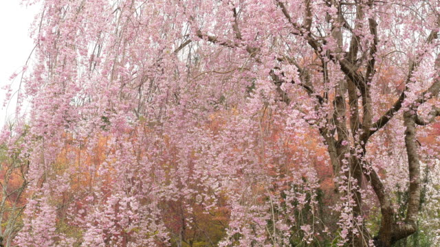 4 k : Weinend Kirsche Blüte Bäume im Fukushima