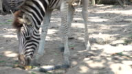 4k: zebra at safari