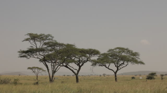 4x4 vehicles drive behind large acacia trees in the savannah, Tanzania.