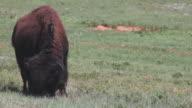 CU of a buffalo grazing in a field in Wind Cave National Park