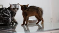 a hostile encounter of an adult American shorthair and a 1-month-old Abyssinia kitten