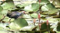 ein Purpurhuhn in Ban Thale Noi, Naturschutzgebiet, Thailand