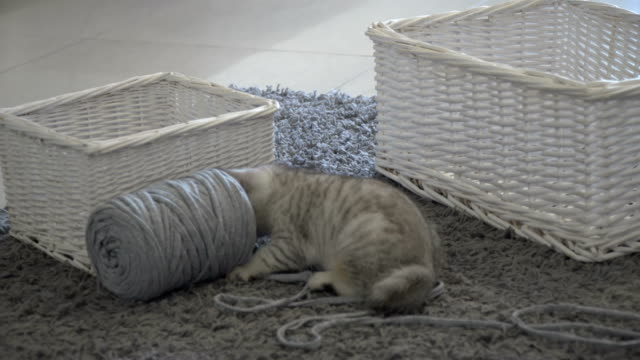 a young gray kitten playing