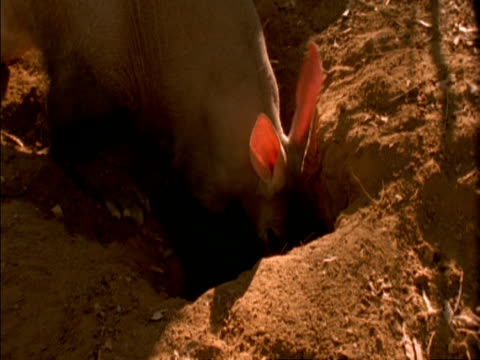 MS Aardvark (Orycteropus afer) side angled view, as he digs hole in ground, big sunlit pink ears