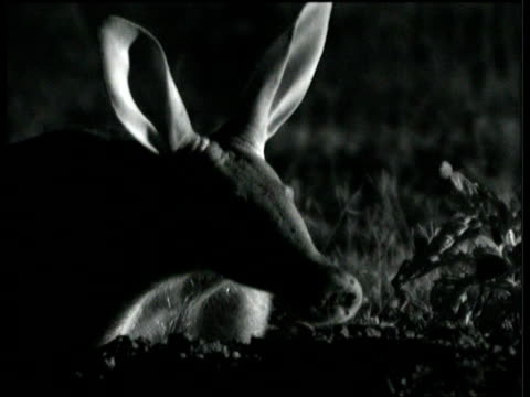 Aardvark sniffs the night air on savanna