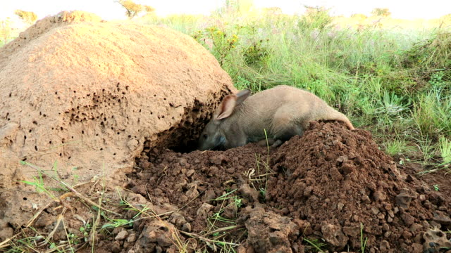 Aardvark/African Ant bear(Orycteropus afer) burrowing into termite mound