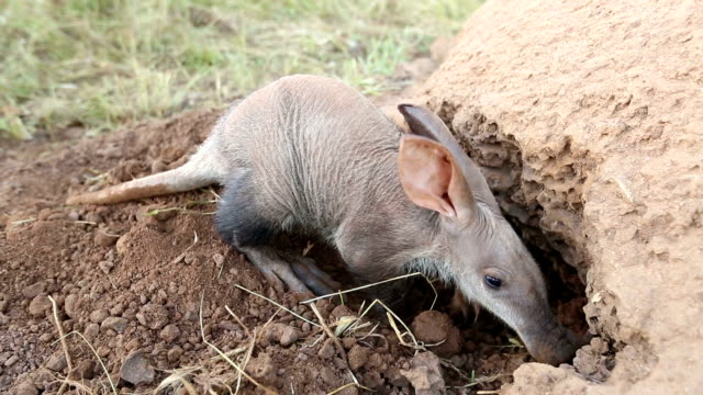 Aardvark/African Ant bear(Orycteropus afer) digging into termite mound