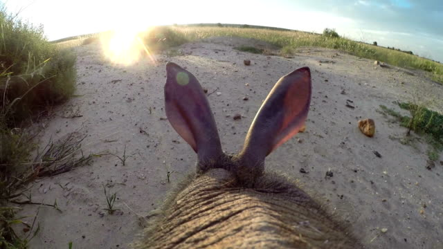 Aardvark/African Ant bear(Orycteropus afer) point of view walking across open ground