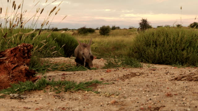 Aardvark/African Ant bear(Orycteropus afer) walking across open ground