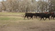 Aberdeen Angus cows are driven between fields on the Estancia La Argentina farm in San Antonio de Areco Argentina on Monday July 27 2015 Shots of...