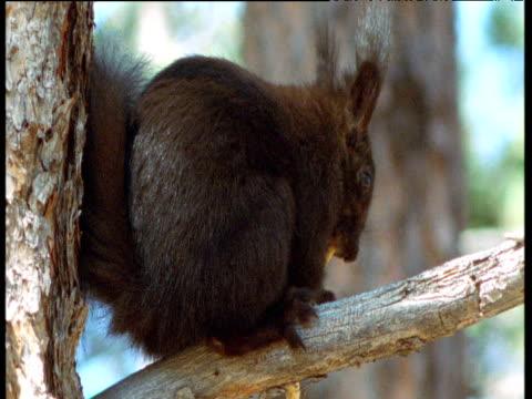 Abert's squirrel chews on shoot in Ponderosa pine tree, New Mexico