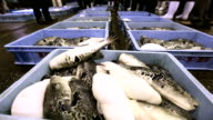 """About 550 kilograms of live """"fugu"""" Japanese pufferfish flopped on the floor of the Haedomari fish market in Shimonoseki Yamaguchi Prefecture as the..."""
