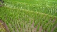 above view of panning:tiny rice on fresh water in delighted rice terrace