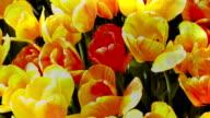 Abstract Yellow Tullips