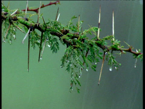 Acacia branch drips water during savanna rainstorm