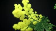 Acacia dealbata (Silver Wattle) Blooming HD