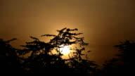 Acacia tree and sunset