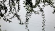 Acacia tree branches