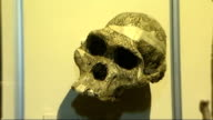 London Natural History Museum INT Neanderthal and modern human skulls on display in museum Reporter to camera