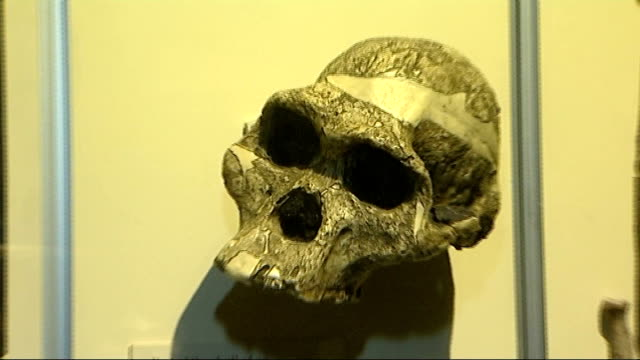 Acceleration in human evolution according to US researchers ENGLAND London Natural History Museum INT Neanderthal and modern human skulls on display...