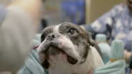 Acupuncture Therapy For Dogs Attracts Dog Owners on April 12 2013 in Tokyo Japan