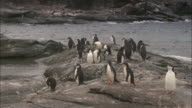 Adelie and Chinstrap penguins stand on a rocky outcrop on Signy Island.
