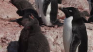Adelie chicks (Pygoscelis adeliae) med close (some weeks old), breathing hard in heat next to parent, Antarctica
