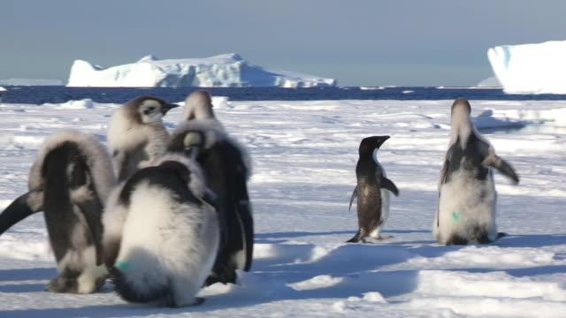 Adelie penguin chases huge fledgling Emperor penguin