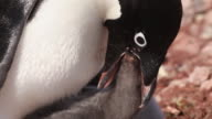 Adelie penguin (Pygoscelis adeliae) close young chick with adult feeding it, close adult head, Antarctica