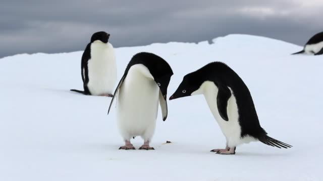 Adelie Penguin displaying courtship dance