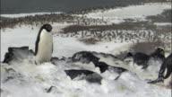 WS ZO Adelie penguin (Pygoscelis adeliae) incubating eggs in gusting snow / Devil Island, Antarctic Peninsula, Antarctica